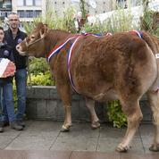 La vache la plus chère d'Europe a été vendue 23.500 euros
