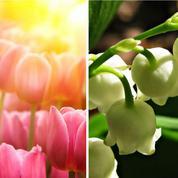 Jardin: plantons maintenant tulipes et muguet de mai