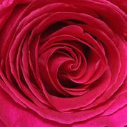 Planter des roses au jardin: les clés de la réussite