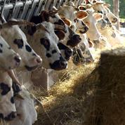 Un homme d'affaires iranien achète près de 400 vaches à la Normandie