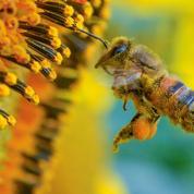L'extinction des abeilles coûterait 2,9 milliards d'euros à la France