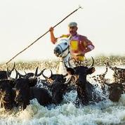 La course camarguaise bientôt reconnue par l'Unesco?