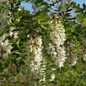 Robinier faux acacia, piquant, drageonnant et mellifère