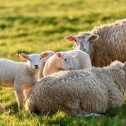 La coopérative Arterris devient un géant de l'agneau