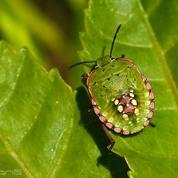 Que faire contre les ravages de la punaise verte ?