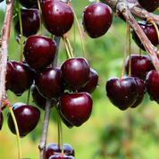 Arbres fruitiers: pour réussir, partez du bon pied !