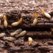 Les termites s'attaquent-ils aux arbres fruitiers ?