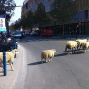 Des brebis dans la ville