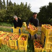 La Tunisie croule sous les oranges