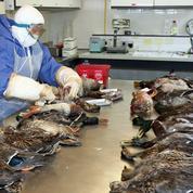 Grippe aviaire : les éleveurs indemnisés «dès mars»
