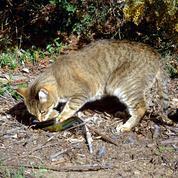 En Australie, les chats sauvages sont un danger pour la faune locale