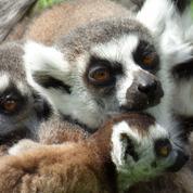 60% des espèces de primates sont en danger d'extinction