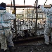 Grippe aviaire : l'abattage préventif étendu à 463 communes