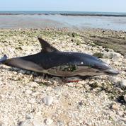 Charente-Maritime : 85 dauphins échoués en quatre jours