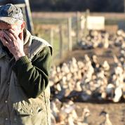 Grippe aviaire: le virus hors de contrôle