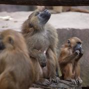 Écoutez : les singes produisent des sons comparables aux voyelles humaines