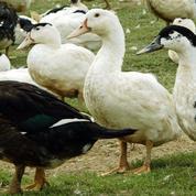 Grippe aviaire: un «vide sanitaire» mis en place dans quatre départements