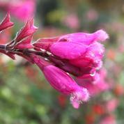 Sauge involucre, des grappes de fleurs rose cramoisi