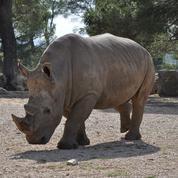 Rhinocéros : quand le Jardin des Plantes pleurait Périclès (1874)
