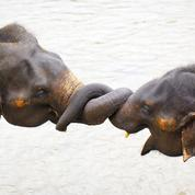 Preuve de son intelligence, l'éléphant aussi a conscience de son corps