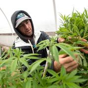 La culture du cannabis menace les viticulteurs californiens