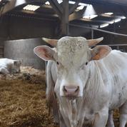 La Normandie va exporter 300 vaches vers l'Iran