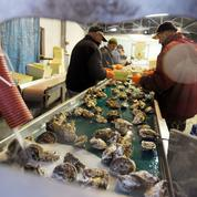 L'huître plate reprend vie en Corse