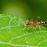 Parfum de princesses chez des fourmis