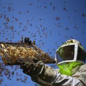 La production de miel a chuté de plus de 30% en 2016