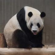 La Chine accélère la «diplomatie du panda» en Europe