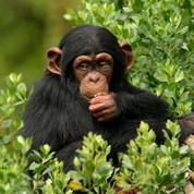 La présence humaine influence les chimpanzés