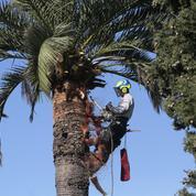 La mort annoncée des palmiers de la Côte d'Azur