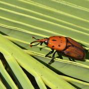 Alerte au charançon rouge, le dévoreur de palmiers