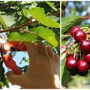 Jardin: c'est le bon moment pour tailler les cerisiers !