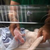 Un seul bébé panda a survécu au zoo de Beauval