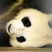 Le panda, une boule de poils paresseuse devenue l'emblème du «soft power» chinois