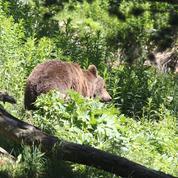 Bras de fer autour de l'ours des Pyrénées