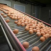 Cinq entreprises françaises «ont reçu des œufs contaminés»