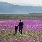 La pause photo du jour : un tapis de fleurs dans le désert d'Atacama
