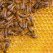 Le miel, ce nouvel or jaune qui attise les trafics en tout genre