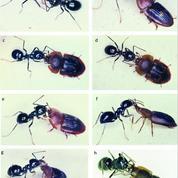 Le scarabée détrousseur de fourmis