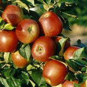 «Jardinez-vous !» : 15 ans pour créer une nouvelle pomme
