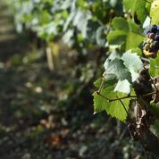 Gironde : au moins trois vols massifs de raisin en marge des vendanges