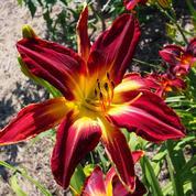 Anémones, tulipes, hémérocalles: fleurissez déjà le printemps !