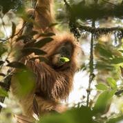 Une nouvelle espèce de grand singe découverte (et déjà menacée d'extinction)