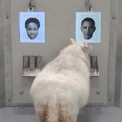 Les moutons sont capables de reconnaître Emma Watson ou Barack Obama