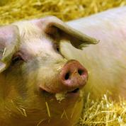 Après l'affaire Piffaut, la filière porcine retrouve un peu d'air