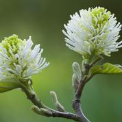 Fothergilla, blancheur au printemps, flamboyance à l'automne