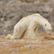 Cet ours polaire mourant de faim est-il réellement victime du réchauffement ?