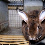 Une vidéo de L214 dénonce les conditions d'élevage de lapins en Nouvelle-Aquitaine